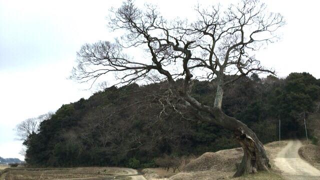 【印西】「信長協奏曲」「花子とアン」のロケ地、グニャリと曲がった榎の木を見てきたよ