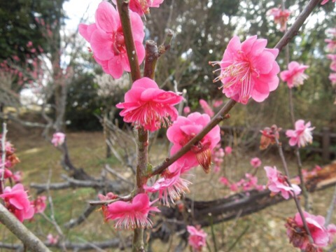 【印西】千葉県立印旛沼公園の梅が見頃。師戸城の歴史漂う公園でキノコ栽培にチャレンジしてきた!