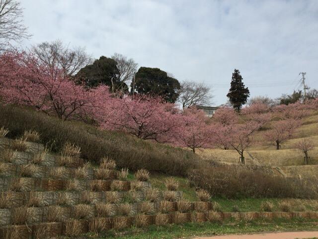【印西】木下万葉公園の河津桜/木下貝層と印旛高校跡地の散策