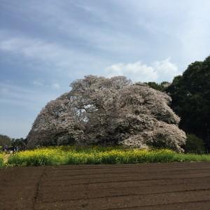 吉高の大桜が見頃でした2016.4.9