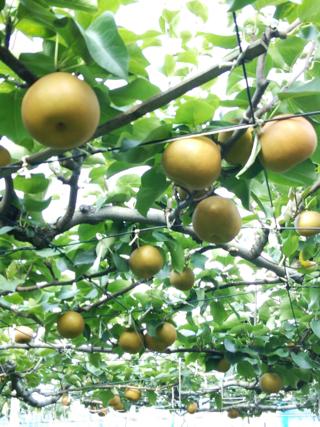 飯島梨園の南国感、千葉の梨は美味いよね