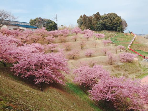 木下万葉公園の河津桜を上から