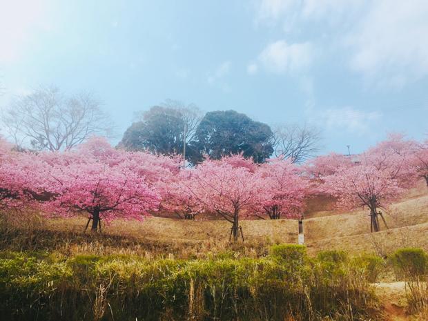 木下万葉公園の河津桜を下から